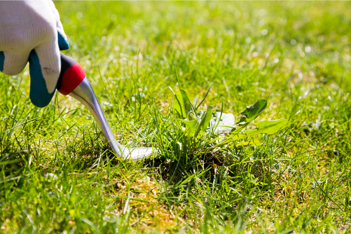 Image of a hand weeding the lawn